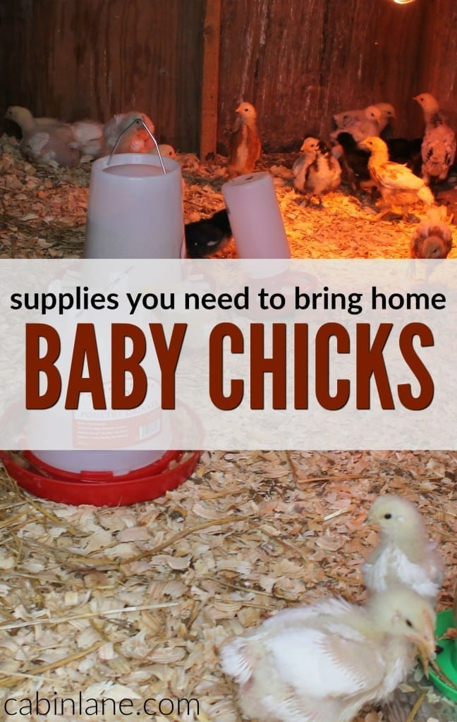 If you?re headed out to purchase some new birds or have ordered them from a hatchery, you may be wondering what you need to bring home baby chicks.
